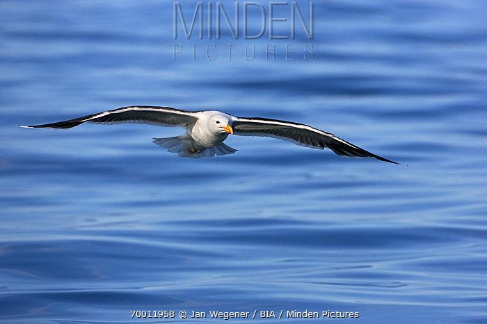 Great Black-backed Gull (Larus marinus) flying over sea, Vannoy, Norway  -  Jan Wegener/ BIA