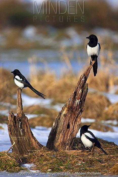 European Magpie (Pica pica) trio perched on a snag, Brandenburg, Germany  -  Jan Wegener/ BIA