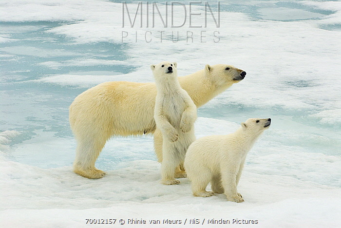 Polar Bear (Ursus maritimus) with young cubs, Svalbard, Norway  -  Rhinie van Meurs/ NIS