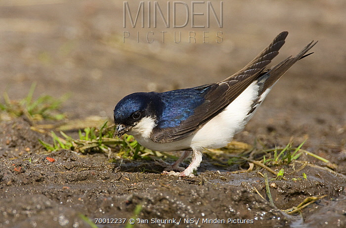 Common House Martin (Delichon urbicum) collecting mud for nest building, Arkemheen, Gelderland, Netherlands  -  Jan Sleurink/ NiS