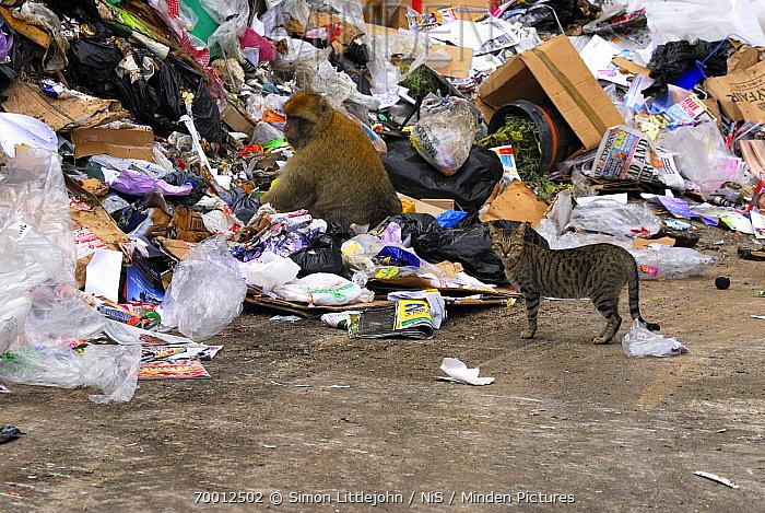 Barbary Macaque (Macaca sylvanus) at rubbish dump with Domestic Cat (Felis catus) nearby, Rock of Gibraltar, Gibraltar  -  Simon Littlejohn/ NiS
