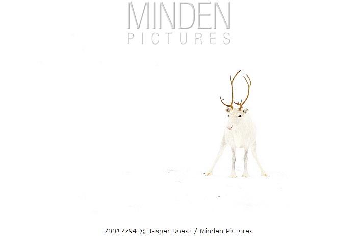 Caribou (Rangifer tarandus) with white coat in snow, Abisko, Sweden  -  Jasper Doest