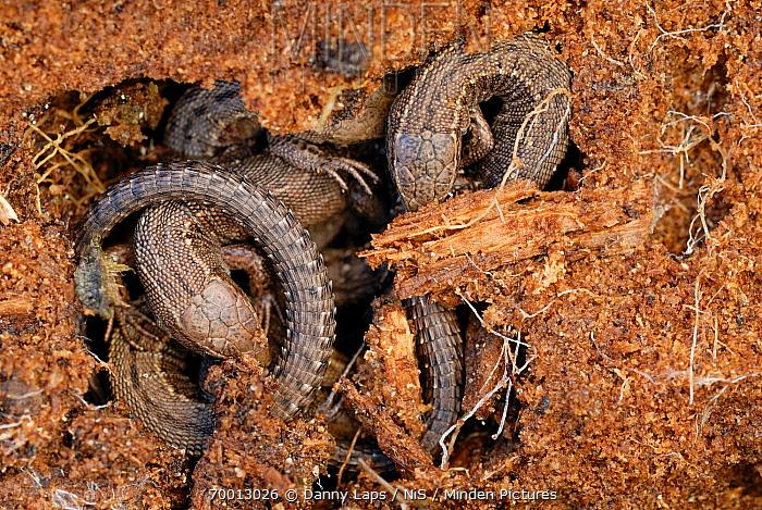 Viviparous Lizard (Lacerta vivipara) group hibernating in rotting wood, Groot Schietveld, Antwerp, Belgium  -  Danny Laps/ NiS
