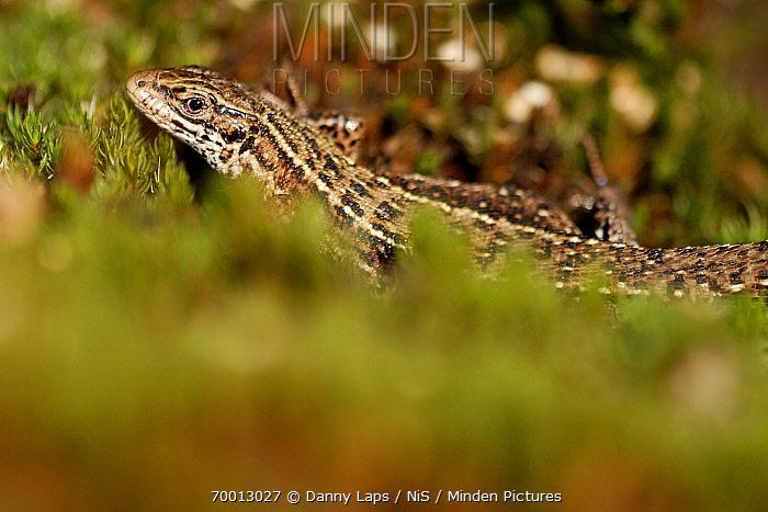 Viviparous Lizard (Lacerta vivipara), Groot Schietveld, Antwerp, Flanders, Belgium  -  Danny Laps/ NiS