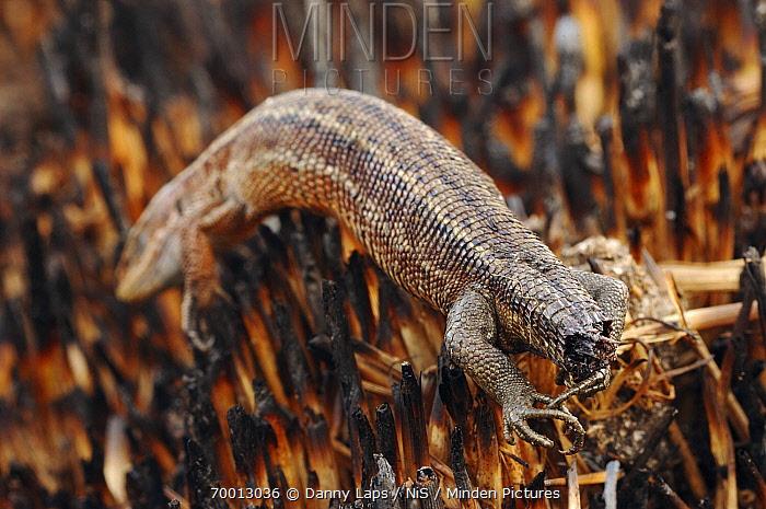 Viviparous Lizard (Lacerta vivipara) carcass left after fire moved through heathland, Groot Schietveld, Antwerp, Flanders, Belgium  -  Danny Laps/ NiS