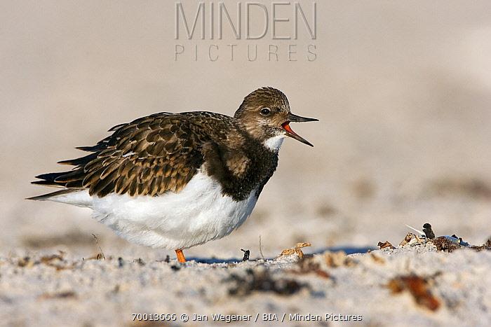 Ruddy Turnstone (Arenaria interpres) calling, Helgoland, North Sea, Germany  -  Jan Wegener/ BIA