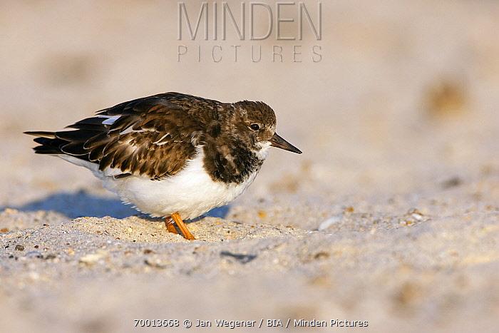 Ruddy Turnstone (Arenaria interpres) on a sandy beach, Helgoland, North Sea, Germany  -  Jan Wegener/ BIA
