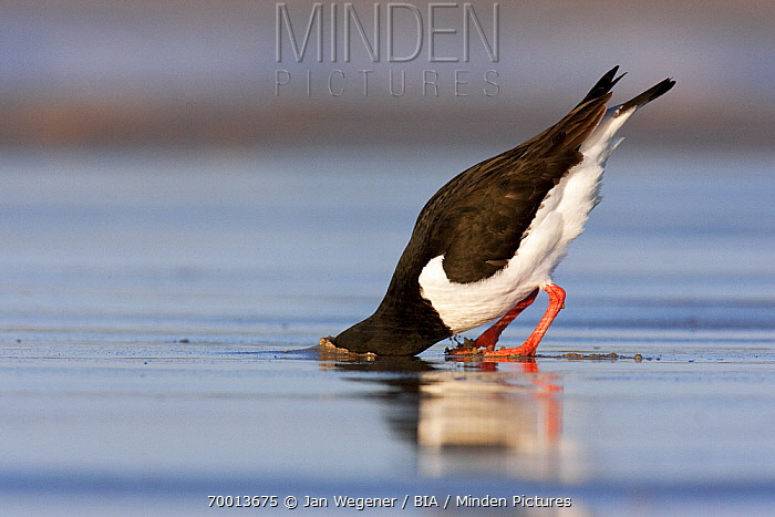 Eurasian Oystercatcher (Haematopus ostralegus) foraging on the beach, Helgoland, North Sea, Germany  -  Jan Wegener/ BIA