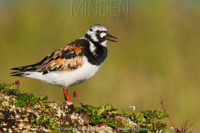 Ruddy Turnstone (Arenaria interpres) in breeding plumage calling, Varanger Peninsula, Norway  -  Jan Wegener/ BIA