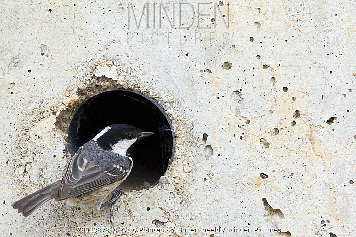 Coal Tit (Periparus ater) looking for insects in wall pipe, Spain  -  Otto Plantema/ Buiten-beeld
