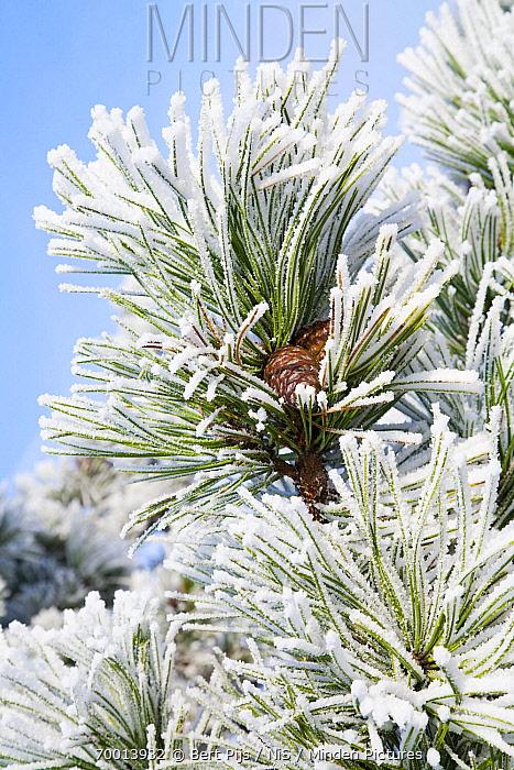 European Black Pine (Pinus nigra) covered in ice, Den Helder, Noord-Holland, Netherlands  -  Bert Pijs/ NIS