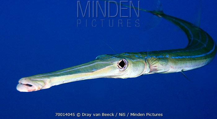 Minden Pictures stock photos - Bluespotted Cornetfish ...