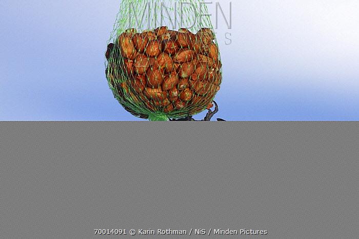 Great Tit (Parus major) hanging on bird feeder full of peanuts, Vriezenveen, Overijssel, Netherlands  -  Karin Rothman/ NiS