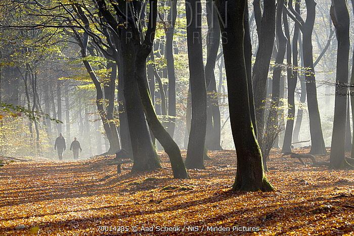 European Beech (Fagus sylvatica) forest with people walking in mist, Putten, Gelderland, Netherlands  -  Aad Schenk/ NiS