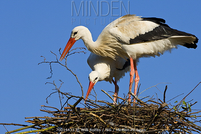 White Stork (Ciconia ciconia) pair building nest, Vechta, Niedersachsen, Germany  -  Willi Rolfes/ NIS