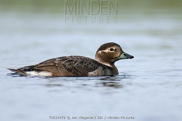 Long-tailed Duck (Clangula hyemalis) female, Varanger, Norway  -  Jan Wegener/ BIA