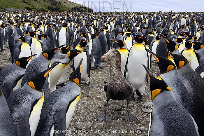 Antarctic Giant Petrel (Macronectes giganteus) encircled by King Penguins (Aptenodytes patagonicus), Crozet Islands, France  -  Goetz Eichhorn/ NiS