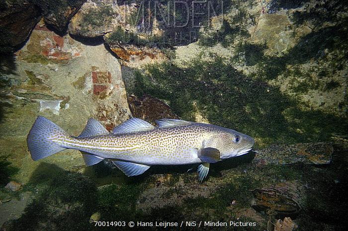Atlantic Cod (Gadus morhua) swimming between rocks, North Sea, Netherlands  -  Hans Leijnse/ NiS