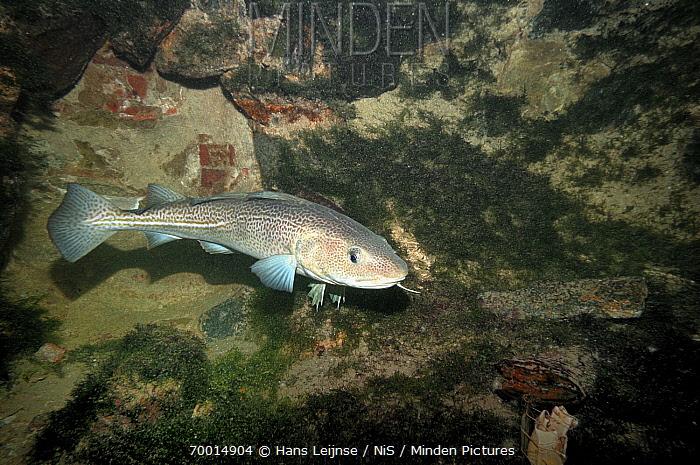 Atlantic Cod (Gadus morhua), North Sea, Netherlands  -  Hans Leijnse/ NiS