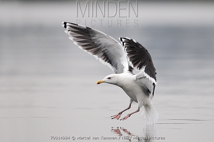 Great Black-backed Gull (Larus marinus) flying over water, Oder Delta, Poland  -  Marcel van Kammen/ NiS