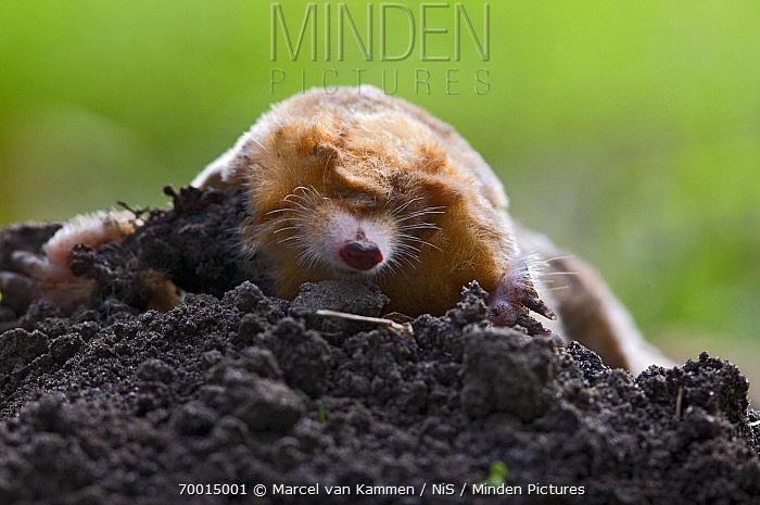 European Mole (Talpa europaea), De Westereen, Friesland, Netherlands  -  Marcel van Kammen/ NiS