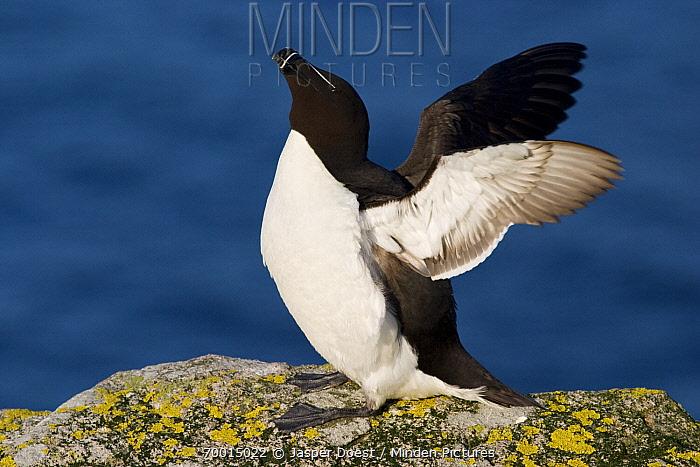 Razorbill (Alca torda) spreading its wings, Saltee Island, Ireland  -  Jasper Doest