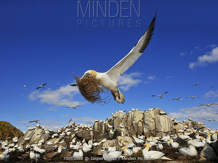 Northern Gannet (Morus bassanus) flying over breeding colony with nesting material, Saltee Island, Ireland  -  Jasper Doest