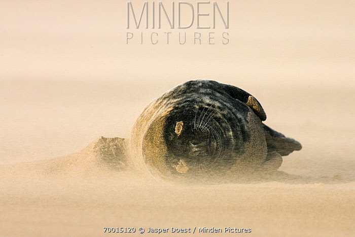 Grey Seal (Halichoerus grypus) lying on beach in blowing sand, Donna Nook, Lincolnshire, United Kingdom  -  Jasper Doest