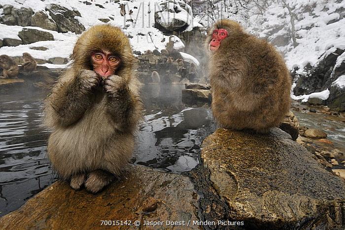 Japanese Macaque (Macaca fuscata) pair at volcanic hot springs, Jigokudani, Joshinetsu Kogen National Park, Japan  -  Jasper Doest