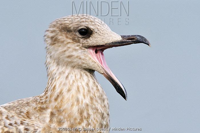 Herring Gull (Larus argentatus) juvenile calling, Hoek van Holland, Zuid-Holland, Netherlands  -  Jasper Doest