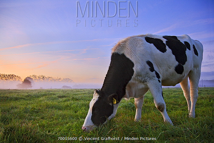 Domestic Cattle (Bos taurus) cow in misty landscape, Ommen, Overijssel, Netherlands  -  Vincent Grafhorst