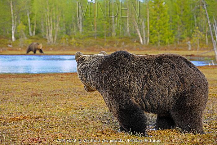 Brown Bear (Ursus arctos) male looking across lake at a female, Finland  -  Winfried Wisniewski