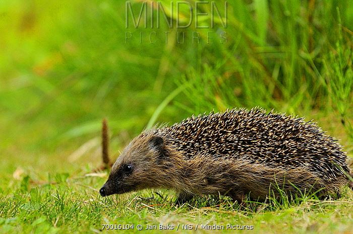 Brown-breasted Hedgehog (Erinaceus europaeus) walking in garden, Goeree, Netherlands  -  Jan Baks/ NiS