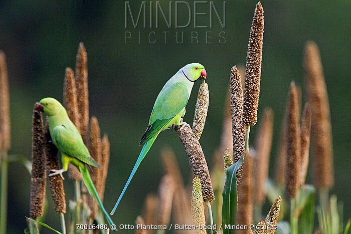 Rose-ringed Parakeet (Psittacula krameri) pair foraging on seed heads, India  -  Otto Plantema/ Buiten-beeld