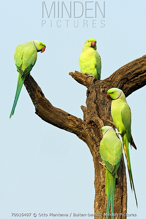 Rose-ringed Parakeet (Psittacula krameri) group of males on snag, India  -  Otto Plantema/ Buiten-beeld