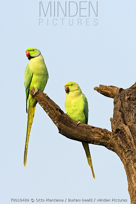 Rose-ringed Parakeet (Psittacula krameri) male and female on snag, India  -  Otto Plantema/ Buiten-beeld