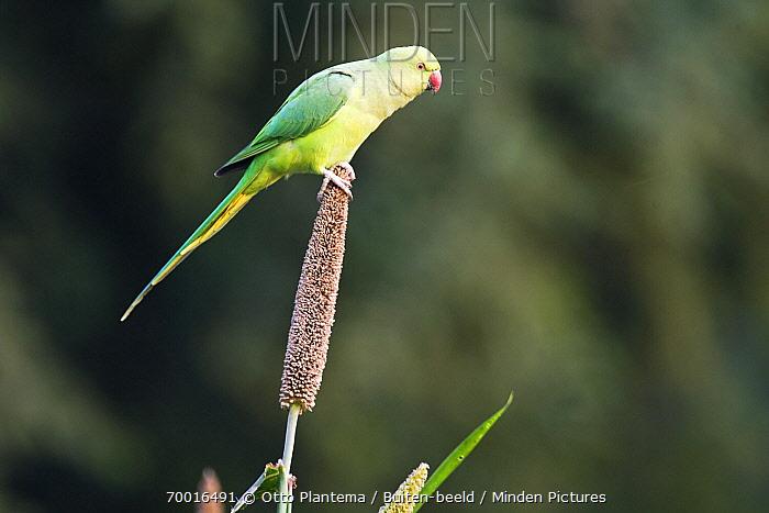 Rose-ringed Parakeet (Psittacula krameri) female on seed head, India  -  Otto Plantema/ Buiten-beeld