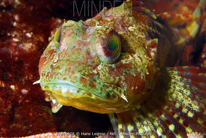 Longspined Sea Scorpion (Taurulus bubalis) fish, North Sea  -  Hans Leijnse/ NiS