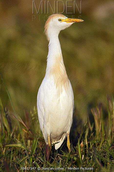 Cattle Egret (Bubulcus ibis), Alentejo, Portugal  -  Duncan Usher