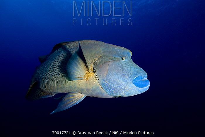 Double-headed Maori Wrasse (Cheilinus undulatus), Red Sea, Egypt  -  Dray van Beeck/ NiS