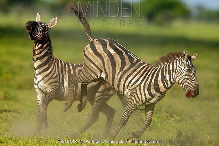 Zebra (Equus quagga) stallions fighting, Serengeti National Park, Tanzania. Sequence 3 of 8  -  Winfried Wisniewski