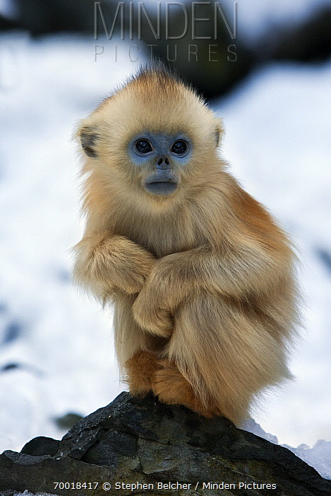 Golden Snub-nosed Monkey (Rhinopithecus roxellana) infant, Qinling Mountains, China  -  Stephen Belcher
