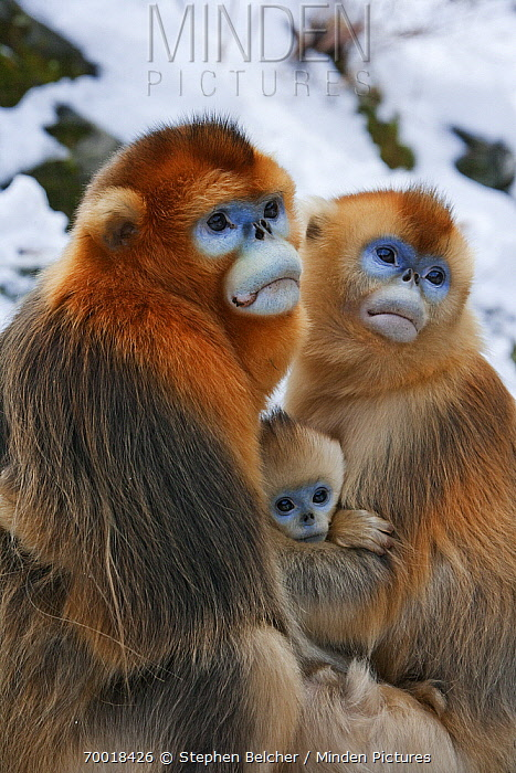 Golden Snub-nosed Monkey (Rhinopithecus roxellana) family, Qinling Mountains, China  -  Stephen Belcher