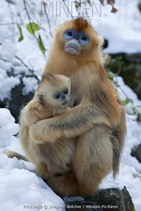 Golden Snub-nosed Monkey (Rhinopithecus roxellana) mother holding infant, Qinling Mountains, China  -  Stephen Belcher