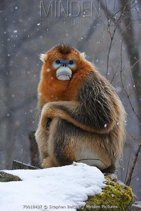 Golden Snub-nosed Monkey (Rhinopithecus roxellana) male in the snow, Qinling Mountains, China  -  Stephen Belcher