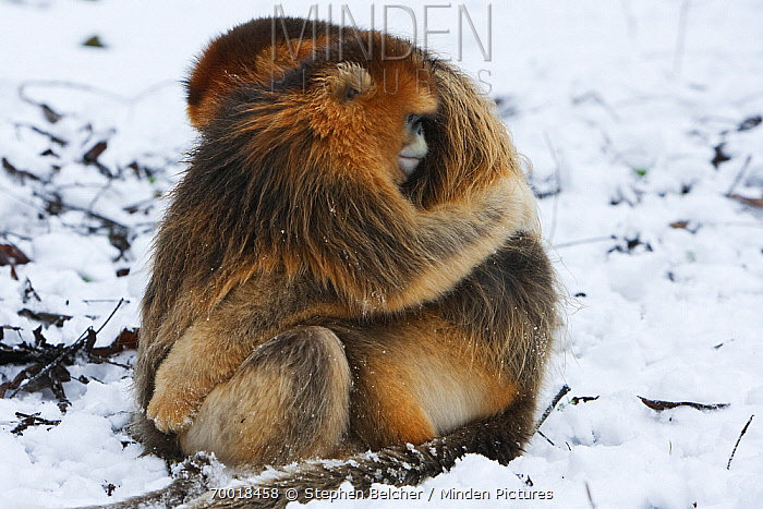 Golden Snub-nosed Monkey (Rhinopithecus roxellana) two males in the snow embracing, Qinling Mountains, China  -  Stephen Belcher