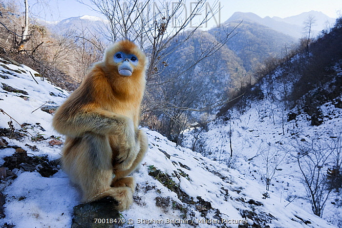 Golden Snub-nosed Monkey (Rhinopithecus roxellana) juvenile, Qinling Mountains, China  -  Stephen Belcher