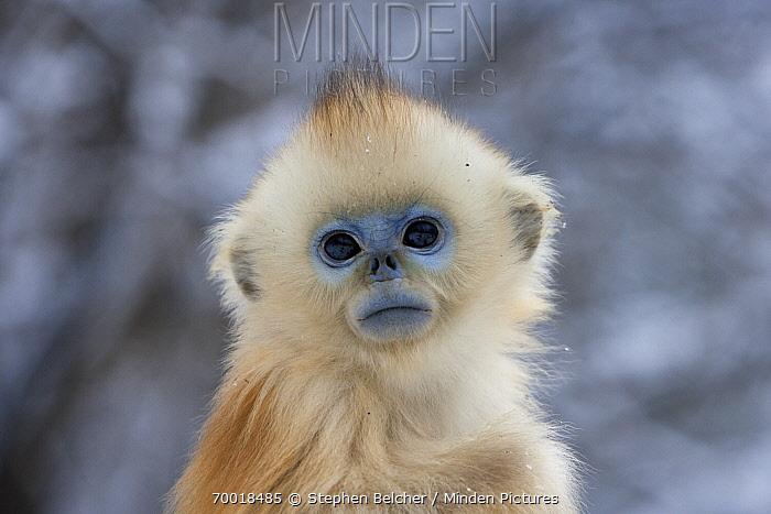 Golden Snub-nosed Monkey (Rhinopithecus roxellana) an infant, Qinling Mountains, China  -  Stephen Belcher