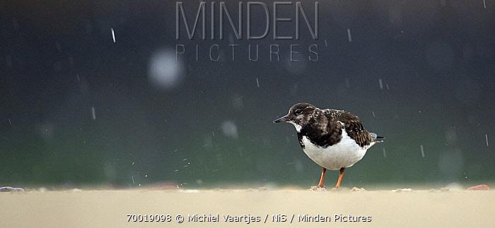 Ruddy Turnstone (Arenaria interpres) in rain, Scheveningen, Zuid-Holland, Netherlands  -  Michiel Vaartjes/ NiS