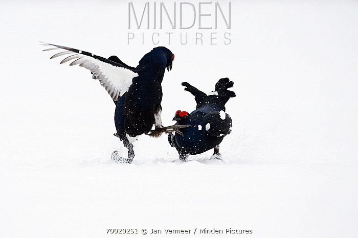 Black Grouse (Tetrao tetrix) two males fighting in snow, Oulu, Finland. Sequence 4 of 8.  -  Jan Vermeer